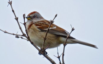 American Tree Sparrow - Oatka Creek Park - © Jim Adams - Nov 21, 2015