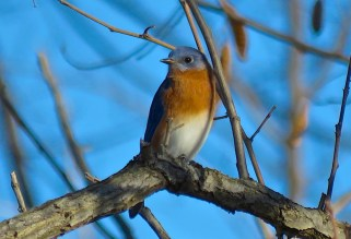Eastern Bluebird - Oatka Creek Park - © Jim Adams - Nov 25, 2015