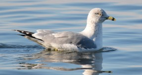 Ring-billed Gull - Webster Park Pier - © Dick Horsey - Nov 30, 2015