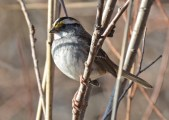 White-throated Sparrow - High Acres Nature Area - © Dick Horsey - Dec 09, 2015