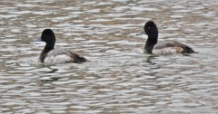 Lesser Scaup - Irondequoit Bay Outlet - © Dick Horsey - Jan 24, 2016