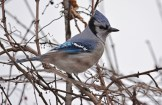 Blue Jay - Mendon Ponds - © Dick Horsey - Jan 25, 2016