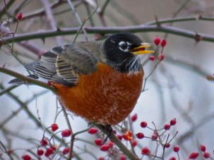 American Robin - Oatka Creek Park - © Jim Adams - Jan 23, 2016
