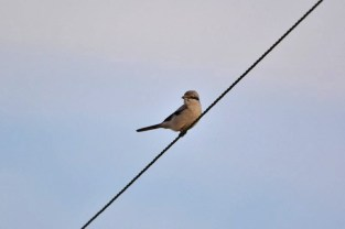 Northern Shrike - Avon (RBA field trip) - © Nick Kachala - Jan 30, 2016