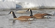 Canada Goose - Irondequoit Bay Outlet - © Dick Horsey - Feb 20, 2016