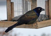 Common Grackle - Webster - © Peggy Mabb - Mar 03, 2016