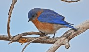 Eastern Bluebird - High Acres Nature Area - © Dick Horsey - Mar 26, 2016
