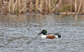 Northern Shoveler - Greece - © Dick Horsey - Apr 01, 2016