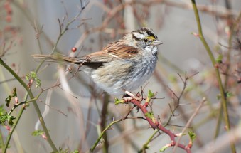 White-throated Sparrow - Four Mile Creek Preserve - © Dick Horsey - Apr 05, 2016