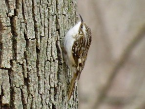 Brown Creeper - Oatka Creek Park - © Jim Adams - Apr 12, 2016