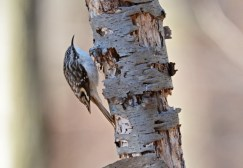 Brown Creeper - Island Cottage Woods - © Dick Horsey - Apr 13, 2016