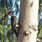 Pileated Woodpecker - Irondequoit - © Candace Giles - Apr 13, 2016