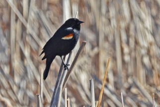 Red-winged Blackbird - Beatty Point - © Dick Horsey - Apr 14, 2016
