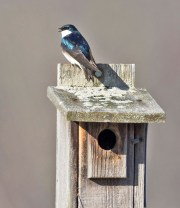 Tree Swallow - Montezuma NWR - © Wes Boyce - Apr 14, 2016