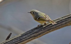 Ruby-crowned Kinglet - Buffalo - © Dana Kalir - Apr 16, 2016