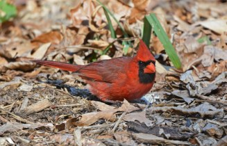 Northern Cardinal - Highland Park - © Dick Horsey - Apr 18, 2016