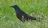 Common Grackle - Highland Park - © Dick Horsey - Apr 18, 2016