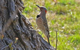 Northern Flicker - Highland Park - © Dick Horsey - Apr 18, 2016