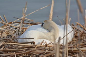 Mute Swan - Braddock Bay North Marina - © Nick Kachala - Apr 18, 2016