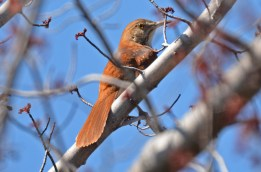 Brown Thrasher - Beatty Point - © Dick Horsey - Apr 21, 2016