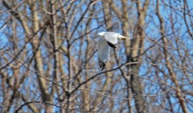 Ring-billed Gull - Island Cottage Woods - © Dick Horsey - Apr 27, 2016