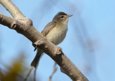 Warbling Vireo - High Acres Nature Area - © Dick Horsey - May 10, 2016