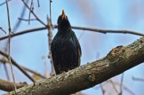 European Starling - Firehouse Woods - © Dick Horsey - May 13, 2016