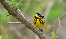 Magnolia Warbler - Lakeview Church Trail - © Dick Horsey - May 14, 2016