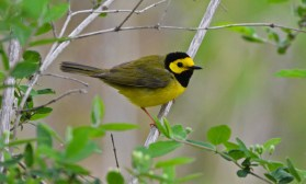 Hooded Warbler - Lakeview Church Trail - © Dick Horsey - May 17, 2016
