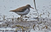 Spotted Sandpiper - High Acres Nature Area - © Dick Horsey - May 18, 2016