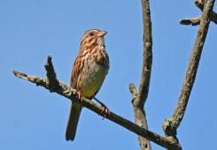 Song Sparrow - Whiting Road Preserve - © Dick Horsey - June 15, 2016