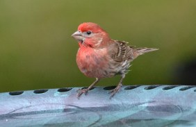 House Finch - Webster - © Peggy Mabb - Jul 01, 2016