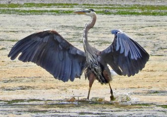 Great Blue Heron - King's Bend Park - © Eunice Thein - Jul 12, 2016