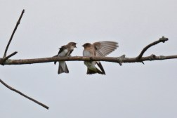 Bank Swallow (L) and Rough-winged Swallow (R)- High Acres Nature Area - © Dick Horsey - Jul 16, 2016