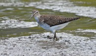 Solitary Sandpiper - Brickyard Trail - © Dick Horsey - Aug 01, 2016