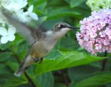 Ruby-throated Hummingbird (F) - Irondequoit - © Eunice Thein - Aug 06, 2016