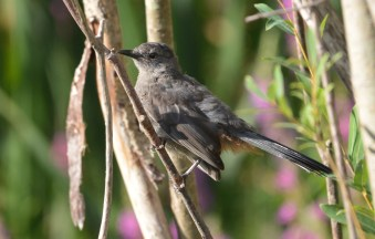 Gray Catbird - Brickyard Trail - © Dick Horsey - Aug 17, 2016