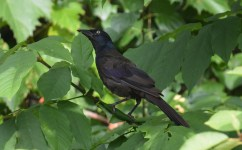 Common Grackle - King's Bend Park - © Dick Horsey - Aug 17, 2016