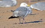 Herring Gull - Charlotte Beach - © Dick Horsey - Aug 22, 2016