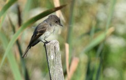 Eastern Phoebe - High Acres Nature Area - © Dick Horsey - Aug 30, 2016