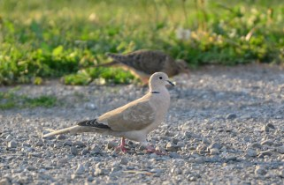 Eurasian-collared Dove - Church Rd Hamlin - © Nick Kachala - Aug 30, 2016