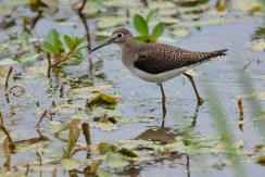 Solitary Sandpiper - High Acres Nature Area - © Dick Horsey - Aug 31, 2016