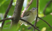 Red-eyed Vireo - High Acres Nature Area - © Dick Horsey - Sep 04, 2016