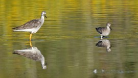 Greater (L) and Lesser (R) Yellowlegs - High Acres Nature Area - © Dick Horsey - Sep 09, 2016