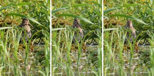 Wilson's Snipe - High Acres Nature Area - © Dick Horsey - Sep 19, 2016