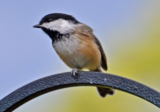 Black-capped Chickadee - Webster - © Peggy Mabb - Sep 27, 2016