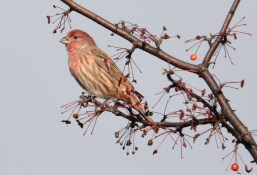 House Finch - Whiting Rd Nature Preserve - © Dick Horsey - Nov 12, 2016
