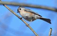Tufted Titmouse - High Acres Nature Area - © Dick Horsey - Nov 15, 2016