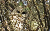Barred Owl - Chili - © Scott Coleman - Jan 11, 2017