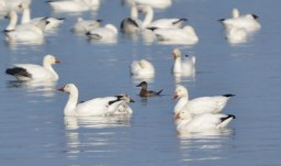 Ruddy Duck (with Snow Geese) - Cayuga Lake - © Nick Kachala - Jan 21, 2017